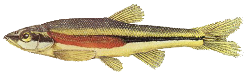 Red Side Dace Picture