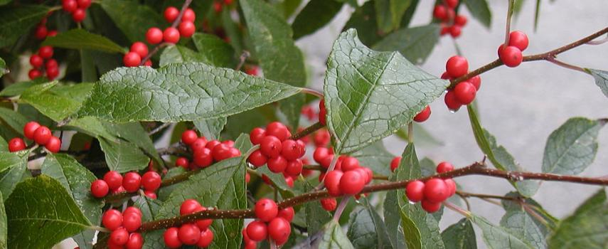 Image of Winterberry Holly
