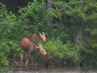 Two calf moose stand by the shore of a lake in Algonquin Provincial Park, Ontario. They are surrounded by green foliage, with larger trees in the background. The calf in the foreground is chewing on vegetation.